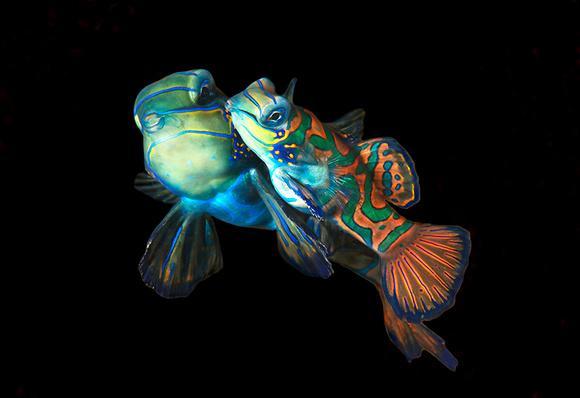 Mating Mandarin Fish III