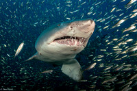 Best Shark Photo 1st Place - Ian Ford
