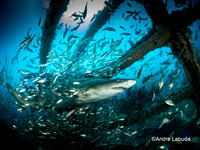Best Shark Photo 2nd Place - Andre Labuda