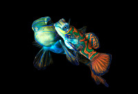 Mating Mandarin Fish III