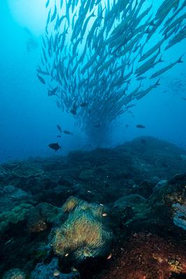 Barracuda Swarm