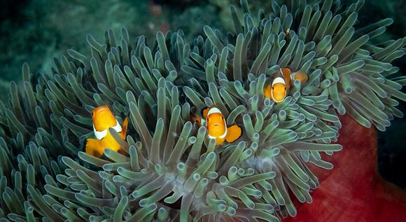 Trio False Clown Fish