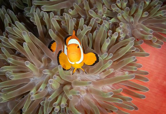 False Clown Fish