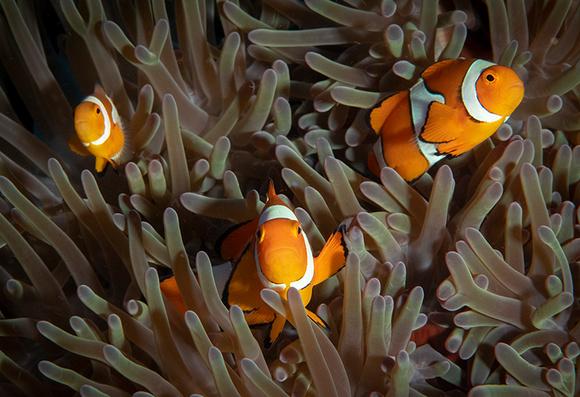 Trio of False Clown Fish