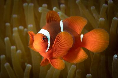 Spine Cheek Anemone Fish
