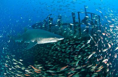 sand tiger shark uscgc spar