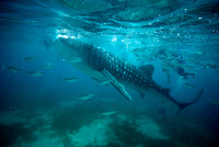 Whale Shark in Oslob, PI