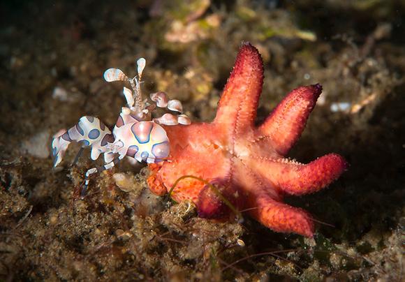 Male Harlequin Shrimp w/sea star