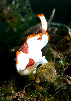 Clown Frog Fish
