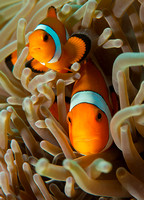 A pair of False Clown Anemone Fish